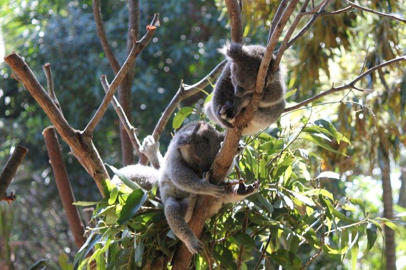 large_koalas.jpg