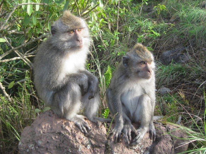 large_monkeys_at_volcano.jpg