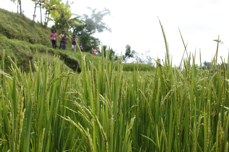 large_ricefield_walk_1.jpg