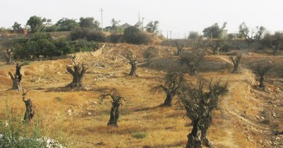 Hani's olive trees, all 268 of them burned by the Jewish settlers above his home.
