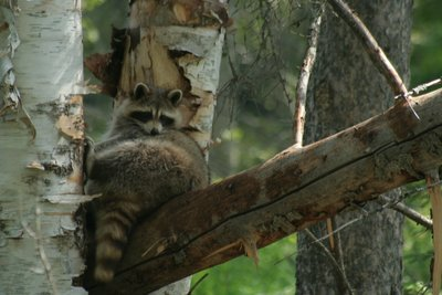 Raccoon, Lac St-Jean
