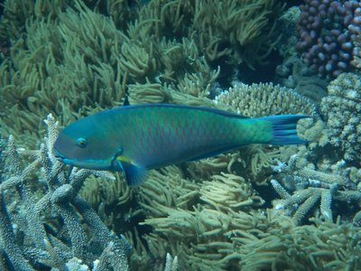 Fish pic 8 - A large parrot fish