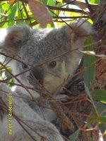 Magnetic Island's latest resident