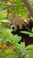 The shy red panda is spotted.