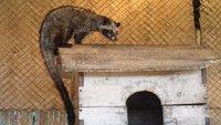 Civet alert