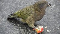 the Kea, bold and beautiful but vicious too!