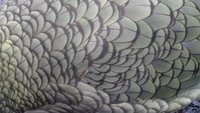 What is this? A Kea's (native large parrot) feathers