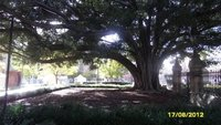 The massive tree in the front grounds of the University