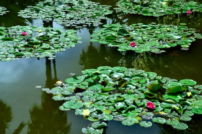 Lilly pond of Jardin Majorelle