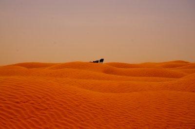 Camels ahoy!