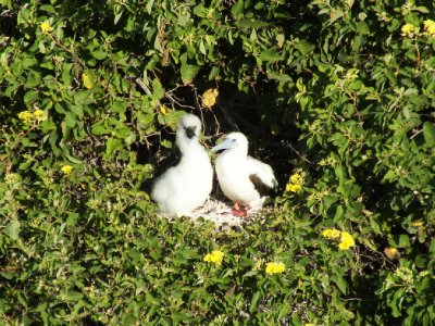 Red footed booby and chick