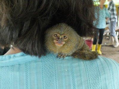 Befriending a tame Pygmy Marmoset
