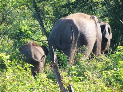 Wild Elephant Tails, Uda Walawe National Park, Sri Lanka