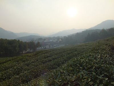 Tea plantation in Hangzhou, China