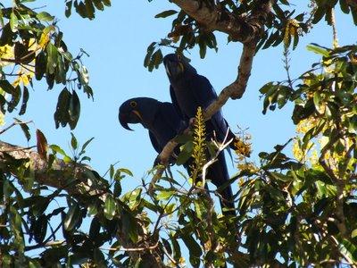 Hyacinth Blue Macaws, Pantanal, Brazil