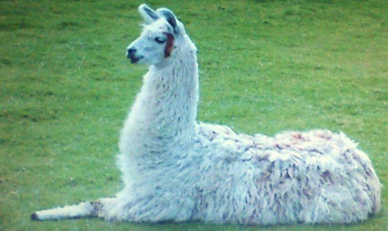 It's me, the Traveling Llama