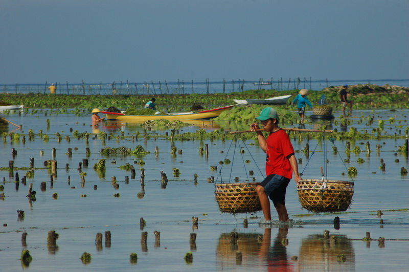Seaweed Farmer Carrying his Crop on Nusa Lembongan - Bali, Indonesia