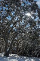 Snowgums covered in snow @ Mount Buller