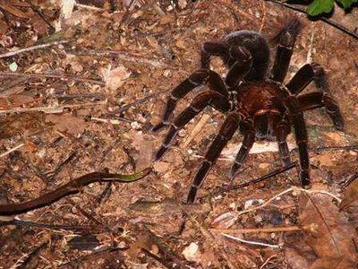 Black spider in the night jungle