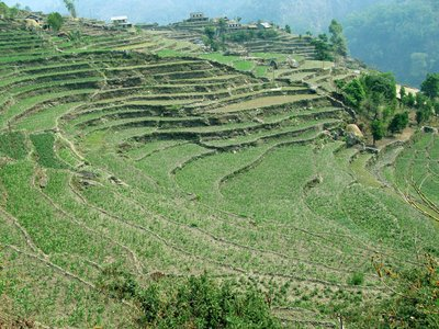 Rice Terraces in Ghandruk