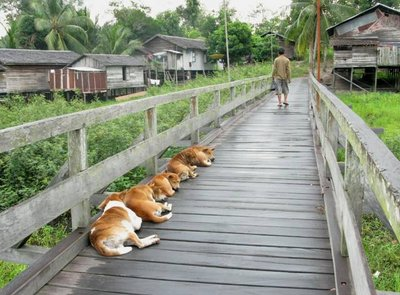 Dogs relaxing on the bridge at Tanjung Isuy