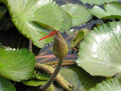 Firefly in lilly pond at Bogor Botanical Garden