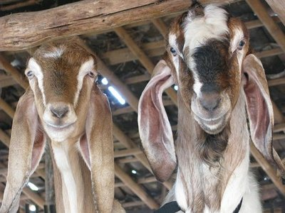 Curious goats at Gunungkidul village