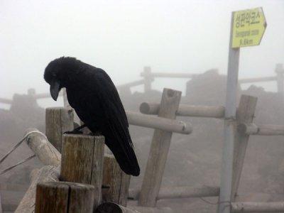 Crow on Hallasan Summit scavenges on hikers leftover