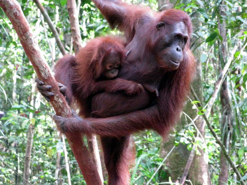 Female Orugantan and Baby