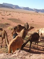 Feeding time in camel camp