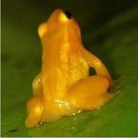 golden_20frog.jpg