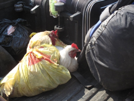 large_Chickens_in_a_bag.jpg