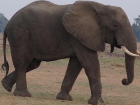 large_Elephant_i..Luwanga.jpg