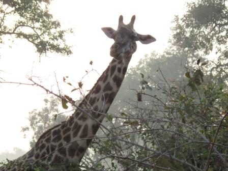 large_Giraffe_in..Luwanga.jpg