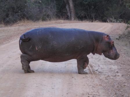 large_Hippo_in_S..Luwanga.jpg