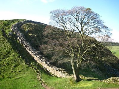 Robin Hood Tree along Hadrian's Wall