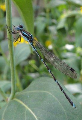 Dragonfly in Coal Creek, NZ
