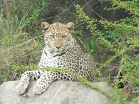 Leopress Above the Serengeti