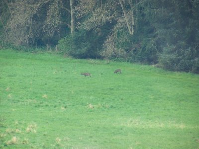 Deer grazing on the field - Dalhousie Castle
