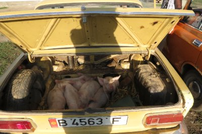Piglets in the back of a Lada