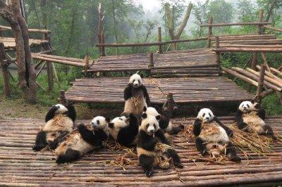 Panda slobs!