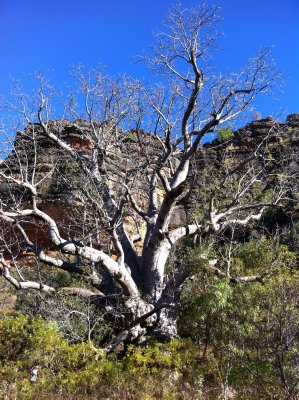 Big Boab, Windjana Gorge