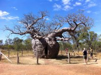 Boab prison tree, Derby, WA