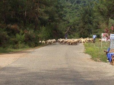 Sheep_On_The_Road.jpg