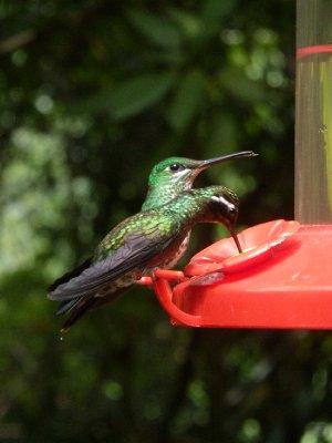 Hummingbird Garden, Monteverde (2)