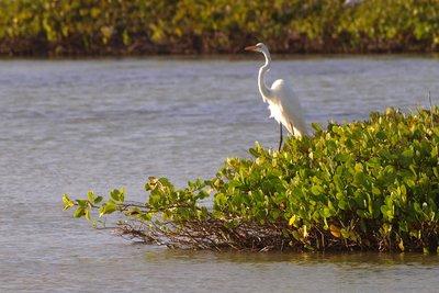 white Egrett