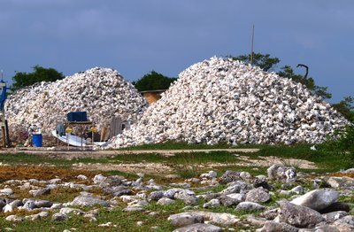 Conch shells at Lac Cai