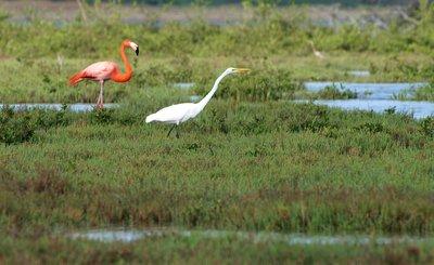 Flamingo and white Egrett