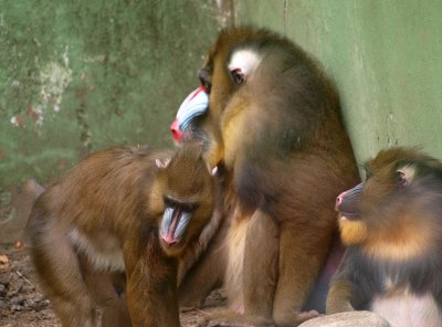 Mandril family