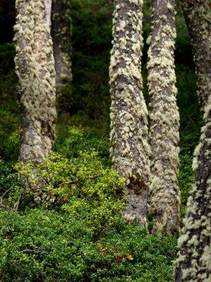 Perito Moreno Forest